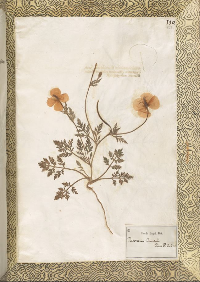 Roemeria hybrida (Poppy flower) from the Rauwolf Herbarium